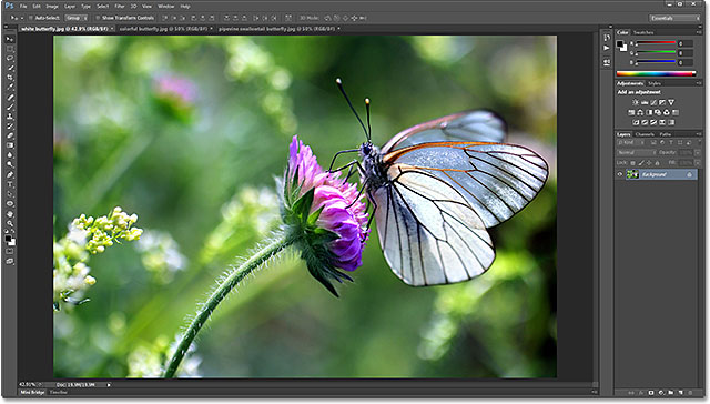 Black-veined White butterfly, Aporia crataegi. Image licensed from Shutterstock by Photoshop Essentials.com