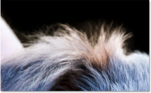 The fur is looking much better after using the Refine Radius Tool. Image © 2014 Photoshop Essentials.com