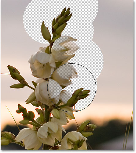 The flowers in the image are being erased along with the background due to their similar colors. Image &copy; 2010 Photoshop Essentials.com