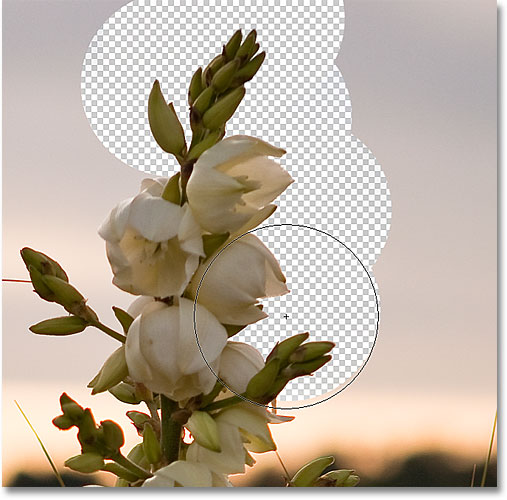 Erasing the background in the image with the Protect Foreground Color option enabled for the Background Eraser. Image &copy; 2010 Photoshop Essentials.com