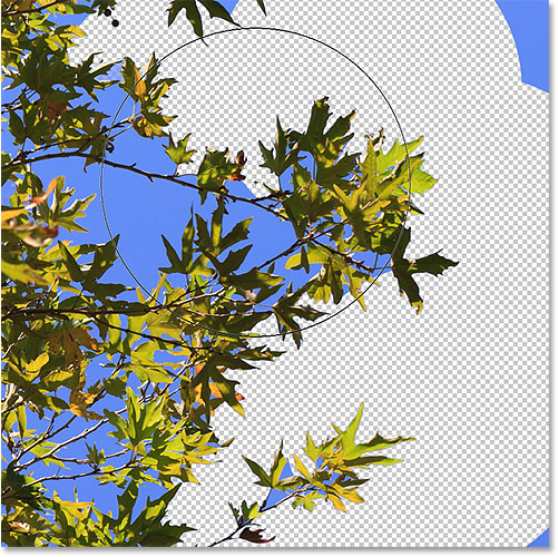 The Background Eraser can't jump across the tree branches to delete the sky. Image © 2016 Photoshop Essentials.com