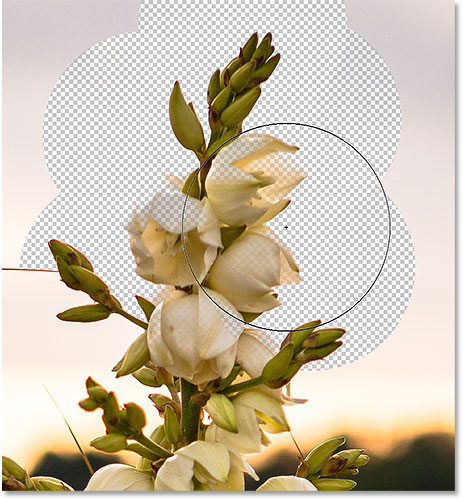 The flowers in the image are being erased along with the background due to their similar colors. Image © 2016 Photoshop Essentials.com