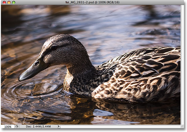 A photo of a duck swimming in a pond. Image © 2009 Steve Patterson.