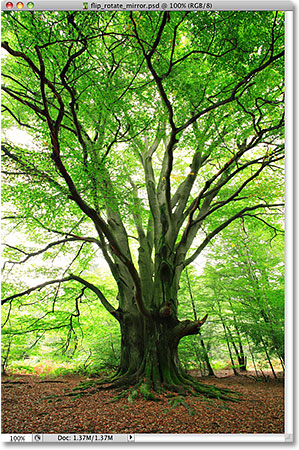 A photo of a tree. Image licensed from iStockphoto by Photoshop Essentials.com.