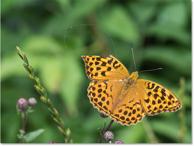 Selecting the missing section of the butterfly wing to repair it with Content-Aware Fill