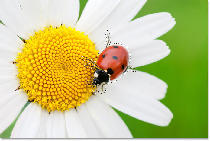 Selecting the ladybug to remove it from the flower with Content-Aware Fill in Photoshop