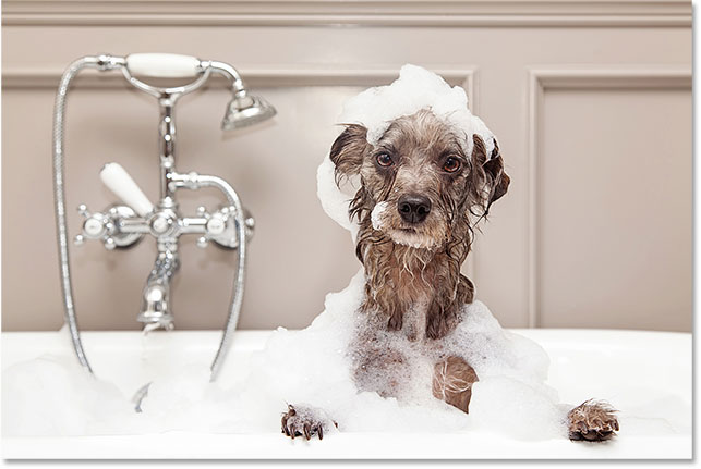 Funny dog taking bubble bath. Image 85485777 licensed from Adobe Stock