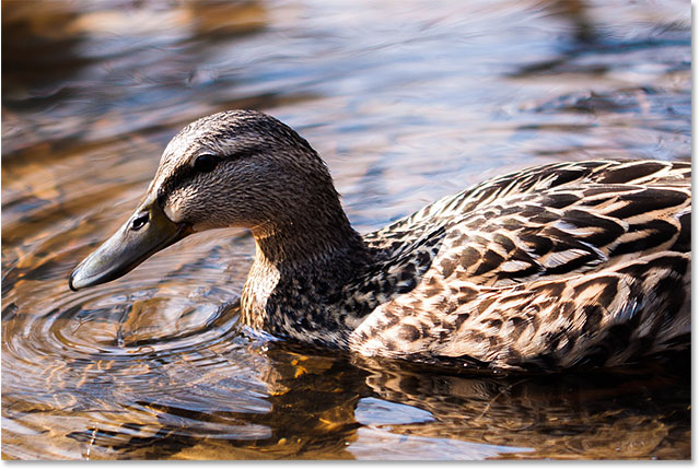 A photo of a duck swimming in a pond.