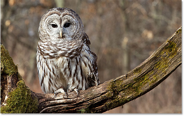 Barred Owl on tree branch. Image #90570679 licensed from Adobe Stock by Photoshop Essentials.com