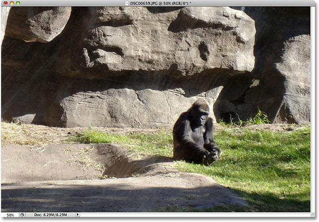 A photo of a gorilla taken at Animal Kingdom in Disney World. Image © 2010 Photoshop Essentials.com