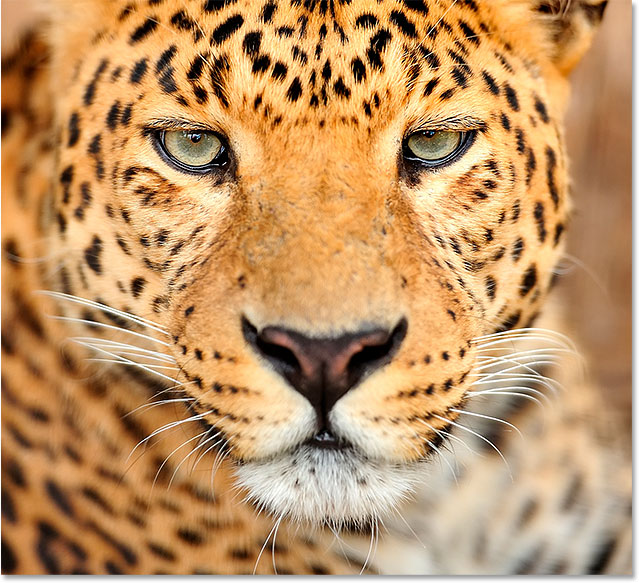 Leopard portrait photo. Image licensed and used by permission from Shutterstock